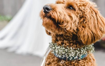 Saturday Spotlight- Short Legs Wedding Day Dog Care